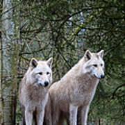 White Wolf Pair Poster