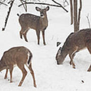 Whitetail Deer In Snowy Woods Poster