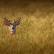 Whitetail Deer In Wheat Field Poster