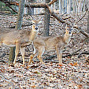Whitetail Duo Poster