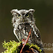 Whooo Goes There... Eastern Screech Owl  Poster
