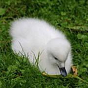 Whooper Swan Juvenile  Poster