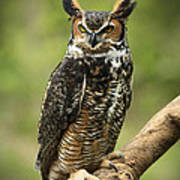 Whoos Watching Me Great Horned Owl In The Forest  Poster by Inspired Nature Photography Fine Art Photography