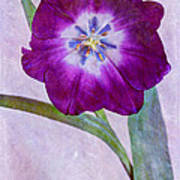 Wide Open Tulip Poster