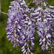 Wild Alabama Wisteria Frutescens Wildflowers Poster
