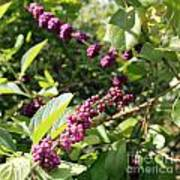 Wild Beautyberry Bush Poster
