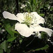 Wild Blackberry Blossom Poster