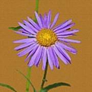 Wild Blue Aster Poster