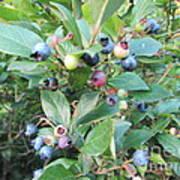 Wild Blueberry Bush Poster