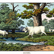 Wild Cattle Of Britain Poster