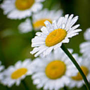 Wild Daisies After The Rain Poster