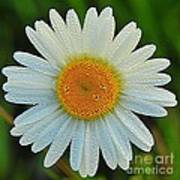 Wild Daisy With Dew Poster