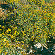 Wild Flowers, Anza Borrego Desert State Poster