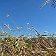 Wild Foxtail Grass In The Breeze II Poster