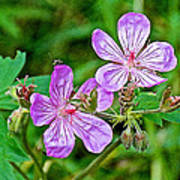 Wild Geranium On Trail To Swan Lake In Grand Teton National Park-wyoming Poster