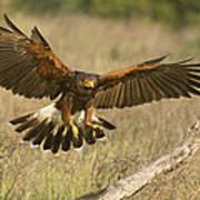 Wild Harris Hawk Landing Poster