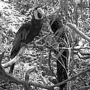 Wild Hawaiian Parrot Black And White Poster