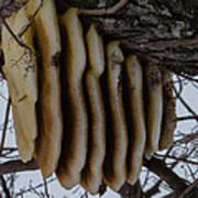 Wild Honey Bee Nest Poster