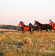 Wild Horses At Sunset Poster