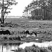 Wild Horses Of Assateague Feeding Poster by Dan Friend