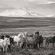 Wild Icelandic Horses Poster