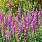 Wild Lavender Flowers Poster