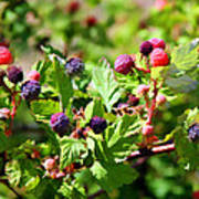 Wild Mountain Berries Poster