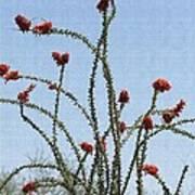 Wild Ocotillo In Bloom Poster