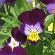 Wild Pansies Or Johnny Jump-ups 1 Poster