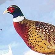 Wild Pheasant Poster