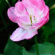 Wild Pink Rose Poster