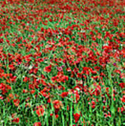 Wild Poppies Growing In A Field, South Poster