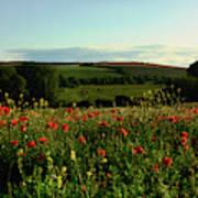 Wild Poppies Growing In A Field, Wylye Poster