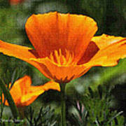 Wild Poppy On The Loose Poster