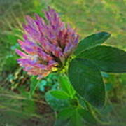 Wild Red Clover Blossom Poster