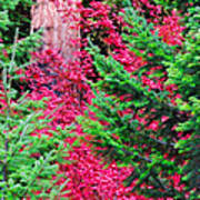 Wild Red Maple Poster