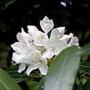 Wild Rhododendron Blossom Poster