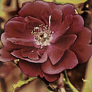 Wild Rose Iv Poster