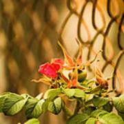 Wild Rose  Poster by Paulina Szajek
