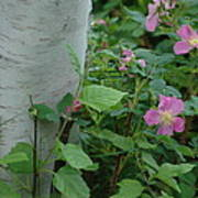Wild Roses With Birch Tree Poster