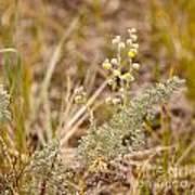 Wild Sage Wormwood Artemisia Figida Yellow Flower Poster