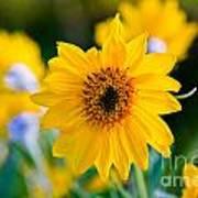 Wild Sunflower Poster by Chris Heitstuman