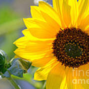 Wild Sunflower Poster