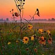 Wild Sunflowers At Dawn Poster