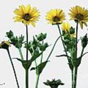 Wild Sunflowers Poster