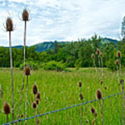 Wild Teasel In Nez Perce National Historical Park-id- Poster