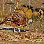 Wild Turkey Poster by Al Powell Photography USA