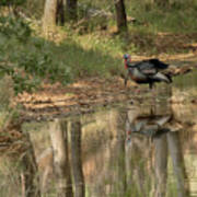 Wild Turkey Crossing Poster