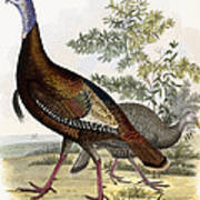 Wild Turkey Poster by Titian Ramsey Peale