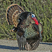 Wild Turkey Tom Poster